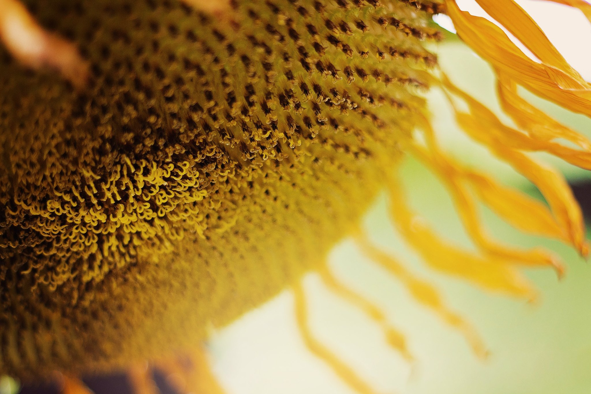 Sunflower | Nature Photography | Bloomington, IN